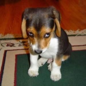 Собачья лужа на ковре